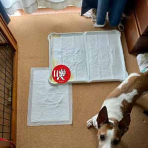 シニア犬トイレトレーニング完了✨
