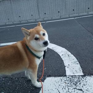 柴犬ちゃんとのお散歩