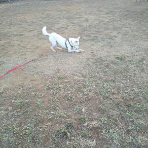 11ヶ月元野犬ちゃんのトレーニング