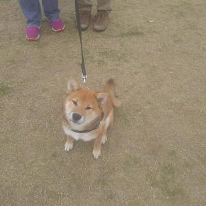 4ヶ月柴犬ちゃんのパピートレーニング