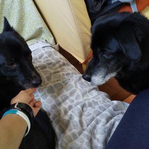 16歳黒ラブちゃんと3歳甲斐犬コーギーミックスちゃんのシッター