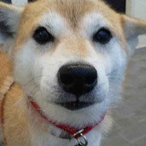 ドッグシッター〈5歳柴犬ちゃん〉