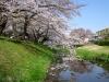 ■根川緑道の桜