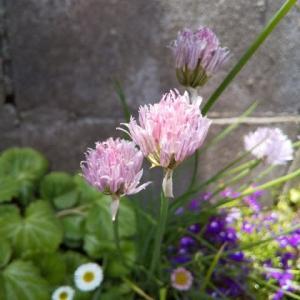 麦わらぼうしとチャイブのお花