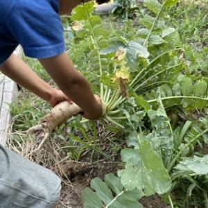 大根を収穫