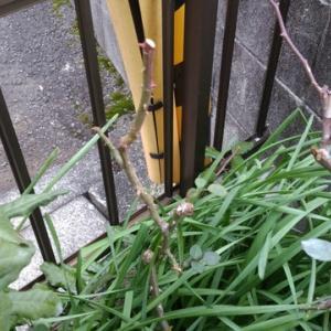 ミニバラの剪定をしたいが、暖冬の為に花が咲き続けて手出しできない!
