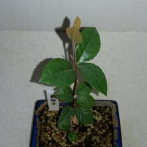 ミニ盆栽 藪柑子(ヤブコウジ)の新芽が出てきた。