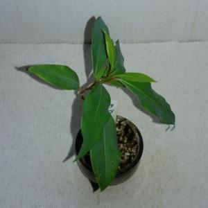 ミニ盆栽「タブノキ」も新芽が展開。