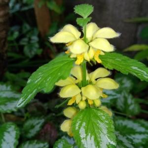 キバナオドリコソウが咲きました(撮影日 4月14日)