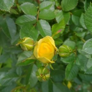 黄色のミニバラが先頭を切って咲きそうです。(撮影日2020年5月3日)