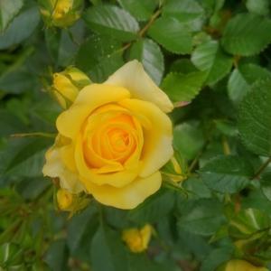 ミニバラのイエローが咲き始めました(撮影日 5月6日)