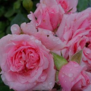 ミニバラ ピンク が咲き誇ってます。