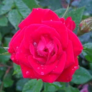 ミニバラ レッド も咲きました。( 撮影日 5月16日 )