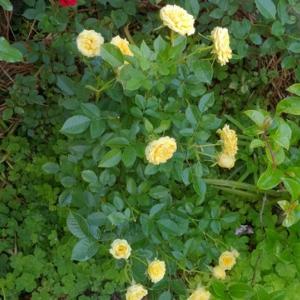 ミニバラ イエローの花がらを処理する。(撮影日 2020年 5月 24日 )