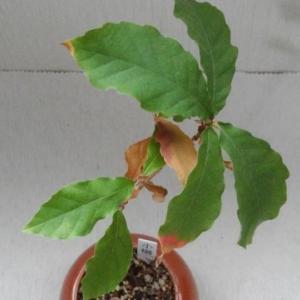 コナラのミニ盆栽が落葉してきたので、根を切る。