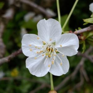 今年もアメリカンチェリーの花が咲き誇りました。(2021年4月3日撮影)
