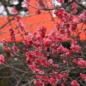 2/15下鴨神社で光琳の梅