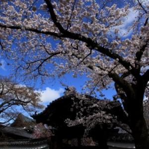 3/29京都の桜巡り 本法寺から妙顕寺と