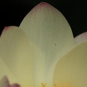 7/12東福寺で蓮