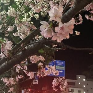 夕方 お散歩がてら早咲きの夜桜見物
