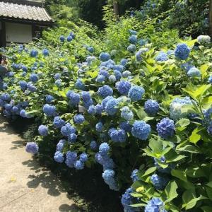 大好き!鎌倉さんぽ 明月院ブルーきれいでした。