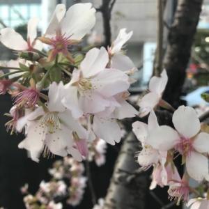 私の暮らしの中で最初に咲く桜