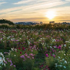イシックス馬入のお花畑のコスモス
