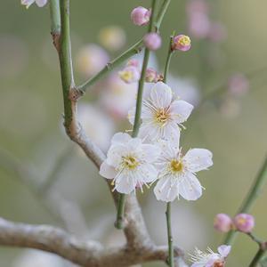 北鎌倉の梅