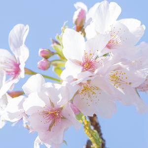 大船フラワーセンターの生まれの玉縄桜