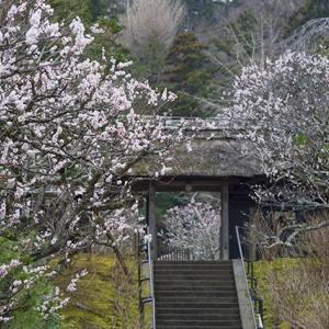 北鎌倉の梅が見頃になりました