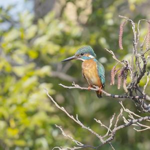 藤沢市の市の鳥「カワセミ」