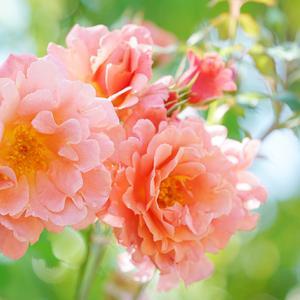 夢の世界へ横浜イングリッシュガーデンのバラ