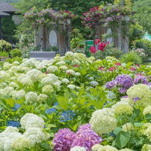 箱根ガラスの森美術館の庭園の紫陽花