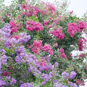 サルスベリ(百日紅)のお花畑