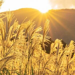 夕暮れの仙石原すすき草原