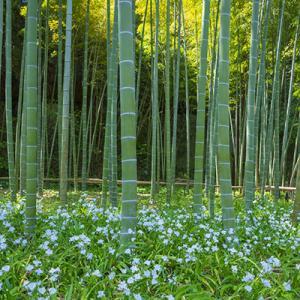 英勝寺のシャガと八重桜