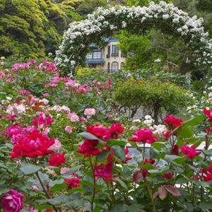 鎌倉文学館のバラ・その⓵