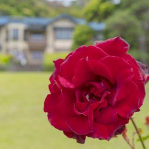鎌倉文学館のバラ・その⓶