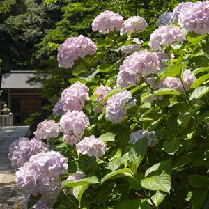 葛原岡神社の紫陽花 その1