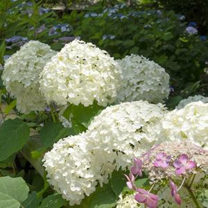葛原岡神社の紫陽花 その2