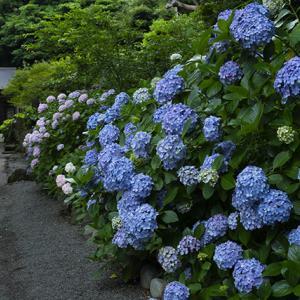 曇りの日の葛原岡神社の紫陽花
