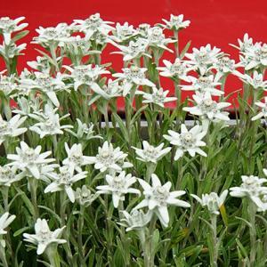 エーデルワイスの花言葉は「大切な思い出」