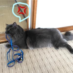 タモン、猫用のハーネス&リードにご立腹!