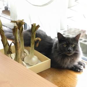 猫にニンニクはダメだよ~〜