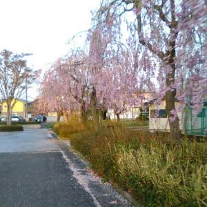 東北はまだ桜が楽しめます