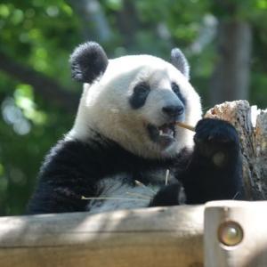 パンダのシャンシャン 今日、3歳のお誕生日。