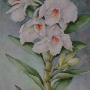 デンドロビウム 1905