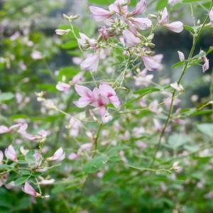 備前邸で今咲いている、白花萩(シロバナハギ)、飛鳥野萩(アスカノハギ)、紫式部(ムラサキシキブ)、藤袴(フジバカマ)
