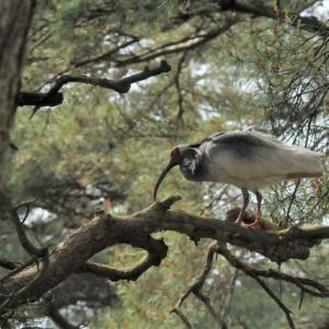松の木の朱鷺