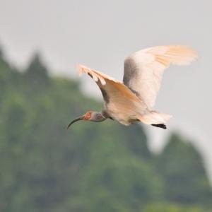 緑背景で朱鷺飛翔